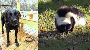 How To Get Rid Of A Skunk In Your Backyard Well That Stinks What To Do When Your Dog Gets Sprayed By A