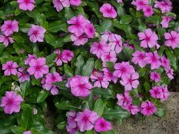 native plants of madagascar catharanthus roseus madagascar periwinkle world of flowering