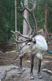nuuksio white reindeer reindeer park