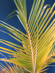 a tale of two coconut leaves discussing palm trees worldwide