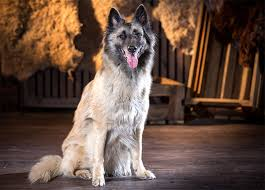 lifespan of belgian shepherd belgian tervuren dog breed information pictures characteristics
