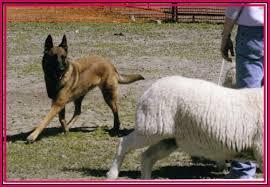 belgian shepherd herding celeste herding