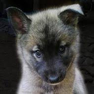 owning a belgian sheepdog advice please i have opportunity to buy sib husky belgian