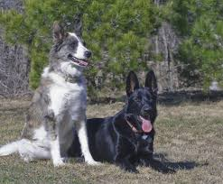 australian shepherd german shepherd 107 best my fur kids images on pinterest german shepherds kids