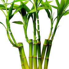 amazing facts about bamboo
