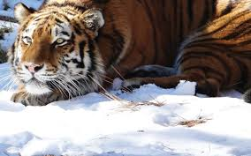 why sooyong park went in search of the siberian tiger and what