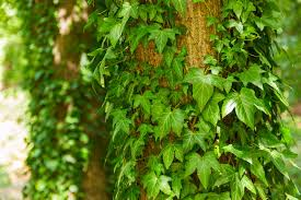 english ivy plants picture warning growing tips