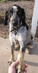 bluetick coonhound with cats bluetick coonhound dog breed information and pictures
