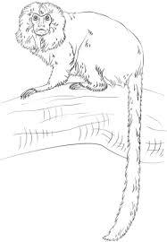 golden lion tamarin monkey coloring free printable coloring