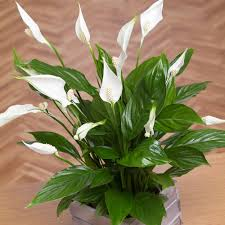 Beautiful House Plants Houseplants Make You Healthier Costa Farms Images Of House Plants
