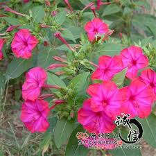 2018 wholesale quality herbal flower seeds mirabilis seeds easy to