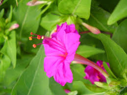 Garden Plants Names And Pictures by Mirabilis Jalapa Wikipedia