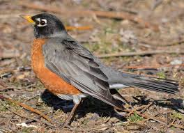 Ontario Backyard Birds Do Robins Stay The Winter In Southern Ontario Natural Crooks
