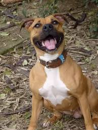 american pitbull terrier in india is there a difference between the american bulldogs and pit bulls