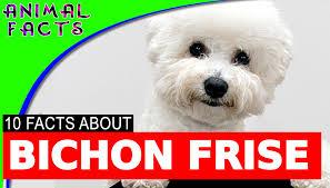 bichon frise jumping 10 interesting bichon frise facts dogs 101 bichonfrise dog