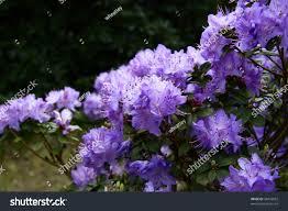 Bright Purple Rhododendron Flower On Shrub Stock Photo 38432692