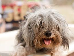 top fancy dog breeds dog breeds puppies types of fancy dog breeds