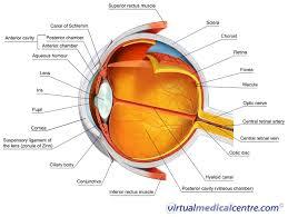 Surface Anatomy Eye The Eye And Vision Myvmc