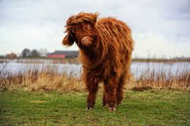 highland cattle by joostvand on deviantart
