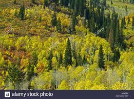 painet jn7263 tree forest aspen autumn fall pine alpine yellow