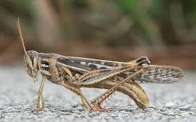 grasshopper wikipedia