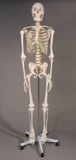 posable skeleton lifesize posable skeleton