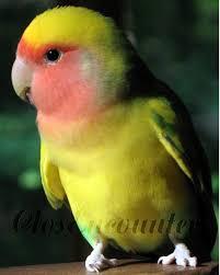 lovebird little tough guy bird portrait photography print