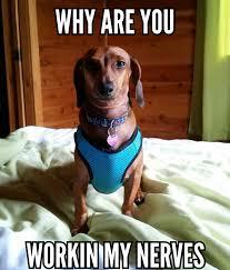 Weiner Dog Meme - diva wiener dog imgur