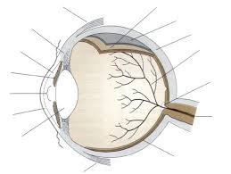 The Anatomy And Physiology Of The Eye Label Parts Of The Human Eye