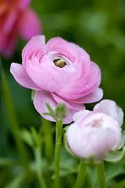 ranunculus flower planting ranunculus hgtv