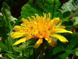 Dandelion Facts The 10 Most Popular Flowers And Their Interesting Facts
