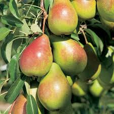 gourmet pears gourmet fruit tree pear view all fruit trees fruit trees