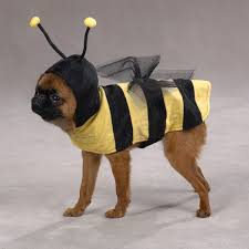 dog halloween costumes for boston terrier dogs from boston terrier
