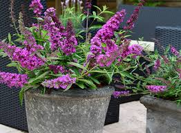 Fragrant Climbing Plants - creating a scented patio