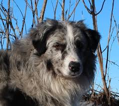 3 winds ranch australian shepherd old time turbocharged old time australian shepherds