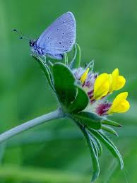conservationist saves 550 caterpillars of the small blue