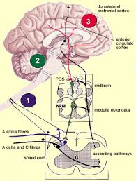 Pain Reflex Pathway The Brain From Top To Bottom