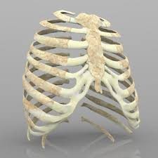 3d rib cage with texture cgtrader