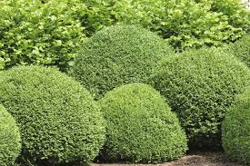 boxwood bush types what are some buxus varieties to grow