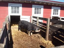 Show Steer Barns Farming Like It U0027s 1889 Barn Google Search And Farming