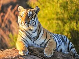 tiger hd wallpaper 10578