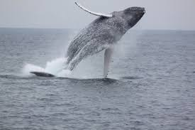 an actual whale versus my mythical whale of last sunday rhymes
