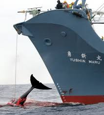 Whaling Meme - japanese whaling to end speak up for blue