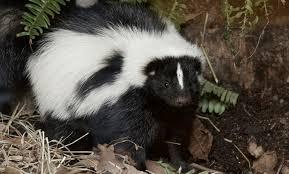 striped skunk smithsonian u0027s national zoo