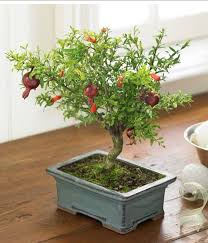 pomegranate fruit tree jpg