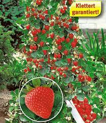 kletterpflanzen fã r balkon die besten 25 erdbeeren vermehren ideen auf erdbeeren