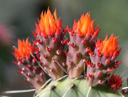 arizona flowers cactus