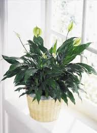 plants for funerals peace serenity planter funeral flowers florist servicing all