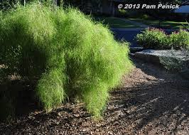 plant this bamboo muhly for foliage follow up diggingdigging