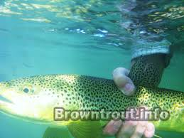 brown trout facts some lesser known facts about this trout species